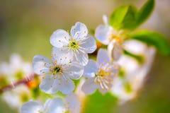 Vita blommor av körsbärsröda blomningar i vatten tappar efter regn Royaltyfria Foton