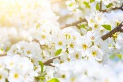 Vita blommor av körsbärsröda blomningar på solig vårdag Royaltyfria Foton