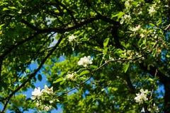 Vita blommor av landskapet för vår för äppleträd arkivbild