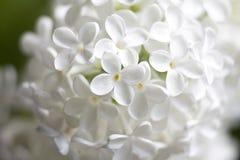 Vita blommor av lilan arkivbilder