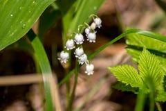 Vita blommor av liljekonvaljen fotografering för bildbyråer
