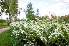 Vita blommor av Lobularia Royaltyfria Foton