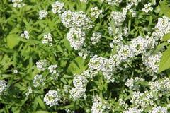 Vita blommor av Lobulariamaritimaen som blomstrar i trädgård Royaltyfria Bilder