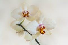 Vita blommor av orkidéphalaenopsis på en ljus bakgrund Arkivfoto