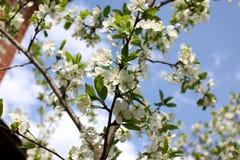 Vita blommor av plommonblomningarna Royaltyfri Fotografi