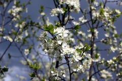 Vita blommor av plommonet blomstrar på en vårdag i parkeranollan Arkivbilder