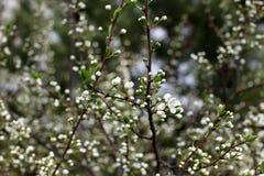 Vita blommor av plommonet blomstrar på en vårdag i parkeranollan Royaltyfria Bilder