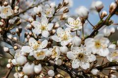Vita blommor av Prunuscerasiferaen arkivfoto