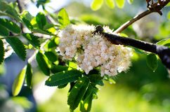 Vita blommor av r?nnen arkivfoto
