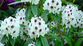 Vita blommor av rhododendron Kameraflyttningarna drar tillbaka på glidaren Färgkorrigering arkivfilmer