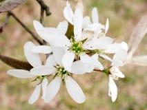 Vita blommor av serviceberryen i vår arkivfoton