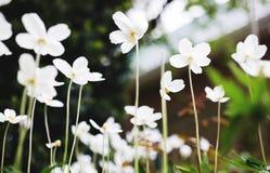 Vita blommor av sylvestrisna för snödroppeanemon, slut upp, tonat retro Royaltyfri Fotografi