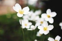 Vita blommor av sylvestrisna för snödroppeanemon, slut upp, tonat retro Arkivbilder