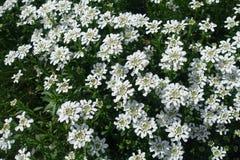 Vita blommor av vintergrön candytuft i vår royaltyfria bilder