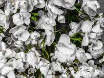 Vita blommor bakgrund eller textur royaltyfri fotografi