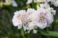 Vita blommor blommar i trädgården med suddig bakgrund Royaltyfri Bild