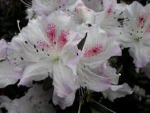 Vita blommor, blommor Blommande träd på våren Vita blommor, azaleavit, kamelior Vår blommor Vårblomning, Fotografering för Bildbyråer