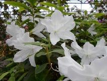 Vita blommor, blommor Blommande träd på våren Vita blommor, azaleavit, kamelior Vår blommor Vårblomning, Arkivfoton