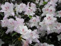 Vita blommor, blommor Blommande träd på våren Vita blommor, azaleavit, kamelior Vår blommor Vårblomning, Arkivfoto