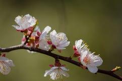 Vita blommor blomstrar på en filial av ett fruktträd Arkivbilder