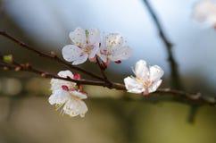 Vita blommor blomstrar på en filial av ett fruktträd Fotografering för Bildbyråer