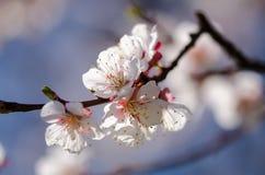 Vita blommor blomstrar på en filial av ett fruktträd Royaltyfri Fotografi