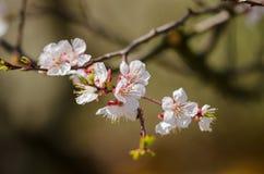 Vita blommor blomstrar på en filial av ett fruktträd Arkivfoton
