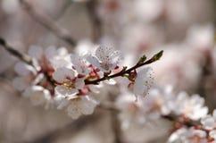 Vita blommor blomstrar på en filial av ett fruktträd Arkivfoto
