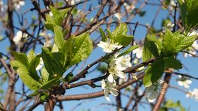 Vita blommor blomstrar på filialerna Cherry Tree arkivfilmer