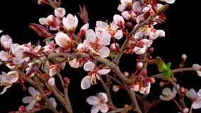 Vita blommor blomstrar på filialerna Cherry Tree
