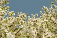 Vita blommor för äppleträd royaltyfri foto