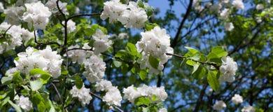 Vita blommor för Apple trädfilialer Fotografering för Bildbyråer