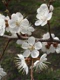 Vita blommor för aprikos på en trädfilial Royaltyfri Foto