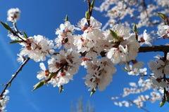 Vita blommor för aprikos på en trädfilial på bakgrund för blå himmel Royaltyfri Foto