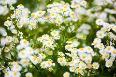Vita blommor för aster Arkivfoto