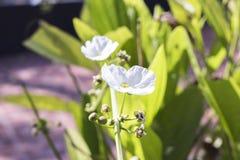 Vita blommor för bakgrundsnatur Royaltyfri Bild