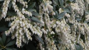 Vita blommor för begreppsvår Arkivfoto