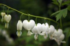 Vita blommor för blödande hjärta Arkivfoto