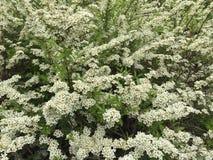 Vita blommor för blomning Royaltyfria Foton