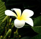 Vita blommor för blomningväxt arkivfoto