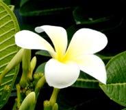 Vita blommor för blomningväxt Arkivbilder