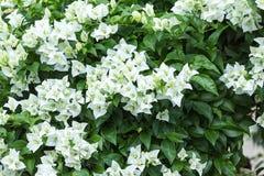 Vita blommor för bougainvillea Fotografering för Bildbyråer