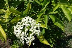 Vita blommor för elfenben av den europeiska fläderbäret royaltyfri foto