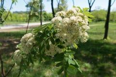 Vita blommor f?r elfenben av r?nnen arkivfoto