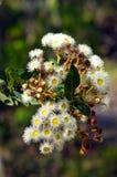 Vita blommor för gumtree (Angophora) Arkivbilder