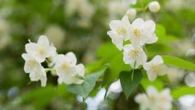 Vita blommor för härlig jasmin stock video