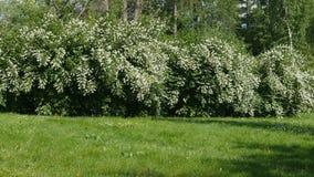 Vita blommor för härlig jasmin, sommardag Blommor i vinden lager videofilmer