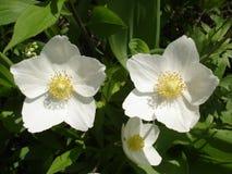 Vita blommor för Hellebore Royaltyfria Bilder