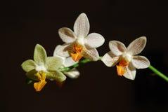 Vita blommor för intelligensgulingphilaenopsis Arkivfoto