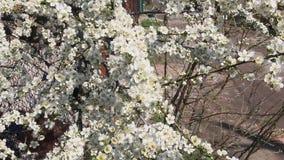 Vita blommor för körsbärsröd plommon i vår lager videofilmer